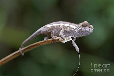 Photograph - small chameleon of Madagascar 23 by Rudi Prott