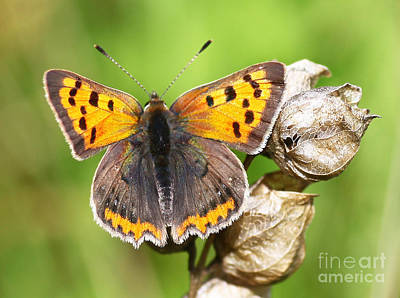 Flower Photograph - Small Copper Butterfly by John Keates