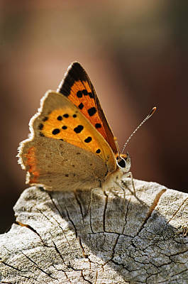 Photograph - Small Copper Butterfly by Mick House