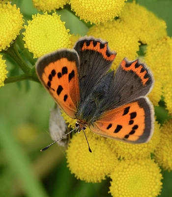 Black And Orange Photograph - Small Copper Butterfly by Nigel Downer