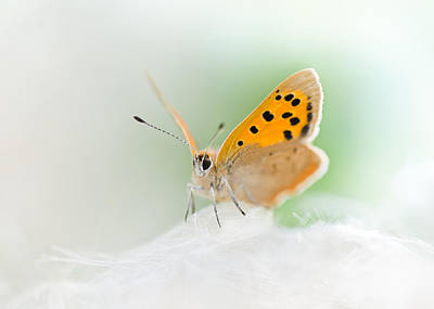 Small Copper Art Print