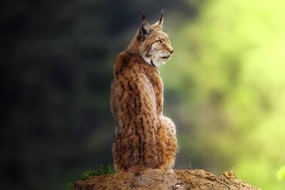 Lynx Wall Art - Photograph - Small Great Feline by Sergio Saavedra Ruiz