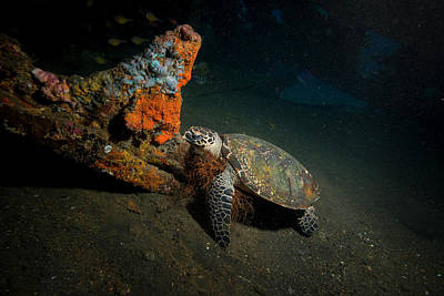 Green Sea Turtle Photograph - Small Green Turtle Resting by Mathieu Meur
