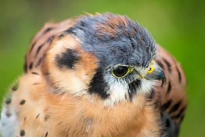 David Jones Photograph - Small Hawk by David Jones