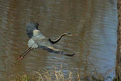 Small Heron Takeoff - C9066g Art Print