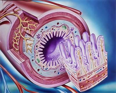 Small Intestine Anatomy Art Print by John Bavosi