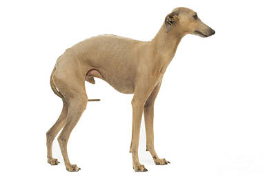 Italian Greyhound Photograph - Small Italian Greyhound by Jean-Michel Labat