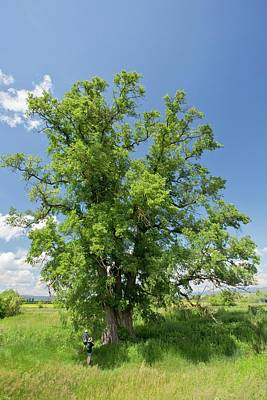 Elm Photograph - Small Leaved Elm (ulmus Minor) Tree by Bob Gibbons