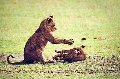 Playing Photograph - Small Lion Cubs Playing. Tanzania In Africa by Michal Bednarek