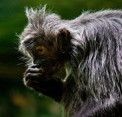 Photograph - Small Monkey Eating by Jonny D