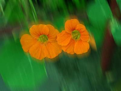 Photograph - Small Orange Apens by Joan-Violet Stretch