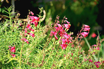 Photograph - Small Pink Flowers by Claudia Ellis