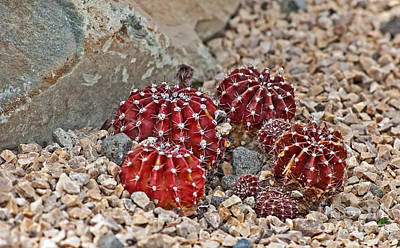 Photograph - Small Red Cactus by Valerie Garner