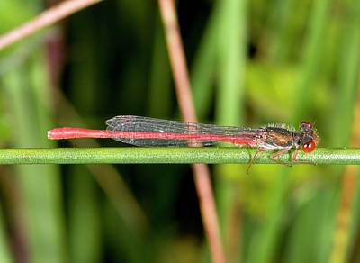 Damselflies Photograph - Small Red Damselfly by Bob Gibbons