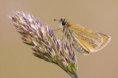 Skipper Photograph - Small Skipper Butterfly by Heath Mcdonald