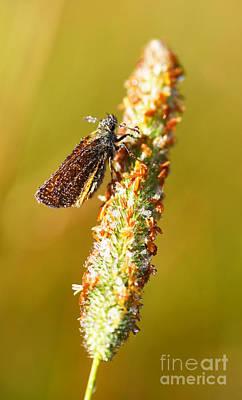 Butterflies Photograph - Small Skipper Butterfly  by John Keates