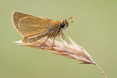 Skipper Photograph - Small Skipper by Heath Mcdonald
