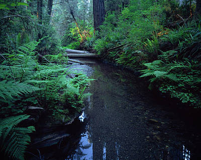 Small Stream Flowing Through Redwoods Art Print by Panoramic Images