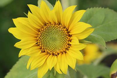 Photograph - Small Sunflower by Lucinda VanVleck