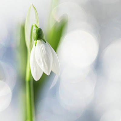 Snowdrops Wall Art - Photograph - Small Surprises by Fine Art Nature Photography