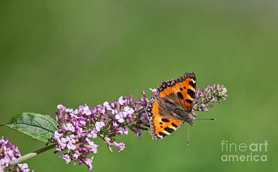 Butterfly Photograph - Small Tortoiseshell Butterfly Aglais Urticae On Buddleia by Liz Leyden