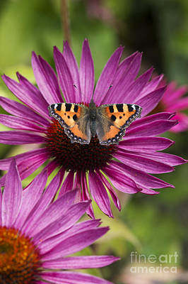 Small Tortoiseshell On Echineca Purpurea Flower Art Print by Tim Gainey