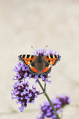 Small Tortoiseshell On Verbena Art Print