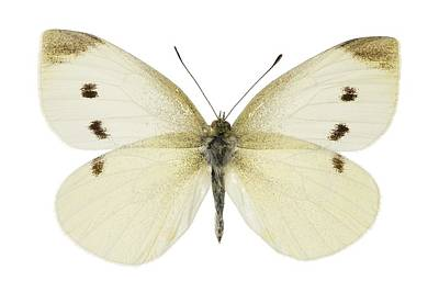 Small White Butterfly Art Print by Science Photo Library