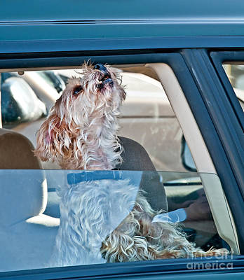 Photograph - Small White Dog Howling In Car Art Prints by Valerie Garner