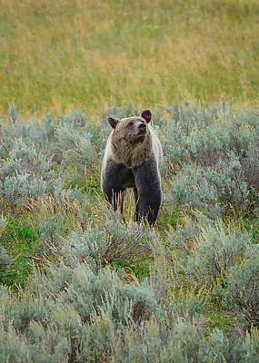 Yellowstone National Park Photograph - Smelling Dinner by Greg Norrell