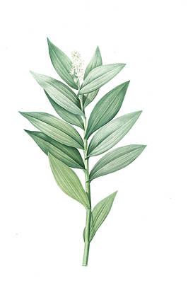 Lily Of The Valley Painting - Smilacina Stellata, Smilacine ètoilèe Star-flowered by Artokoloro