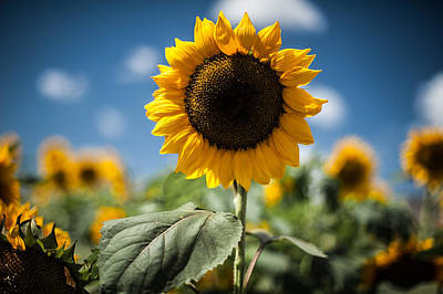 Photograph - Smile Sunflower by Jason Bartimus