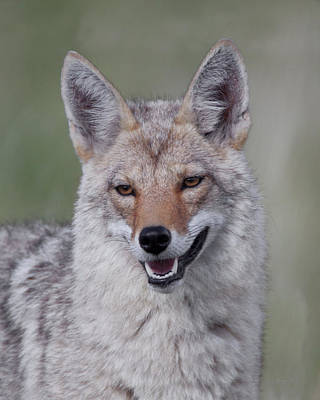Photograph - Smiley Wiley E Coyote by Gerry Sibell