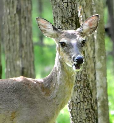 Missouri Whitetail Photograph - Smiling Doe by Deena Stoddard