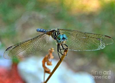 Photograph - Smiling Dragon Fly by Peggy Franz