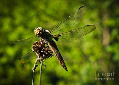 Photograph - Smiling Dragonfly by Cheryl Baxter