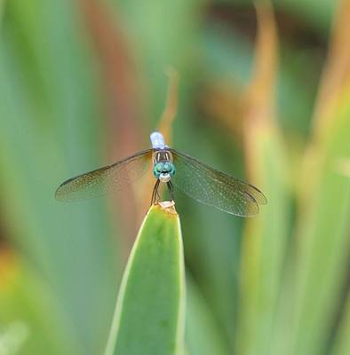 Smiling Dragonfly Art Print by Karen Silvestri