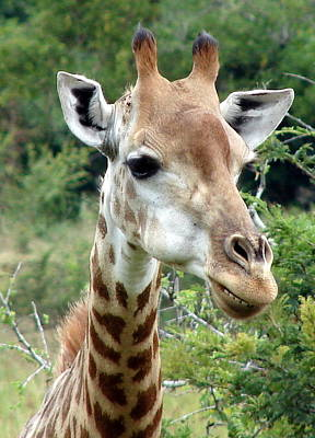 Photograph - Smiling Giraffe by Ramona Johnston