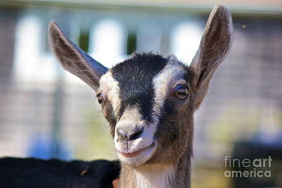 Photograph - Smiling Goat by Amazing Jules