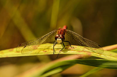 Dragonfly Photograph - Smiling In The Sun by Susan Capuano