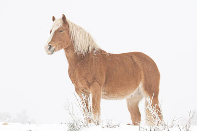 James Insogna Photograph - Smiling Palomino In The Snow by James BO  Insogna