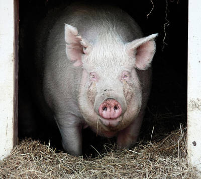 Photograph - Smiling Pig by John Rizzuto