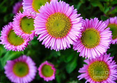 Photograph - Smiling Pink Daisies by Silken Photography
