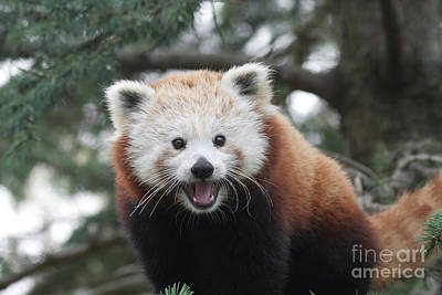 Smiling Red Panda Art Print