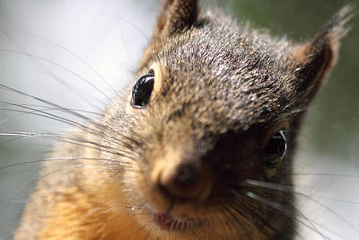 Photograph - Smiling Squirrel Closeup by Peggy Collins