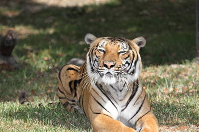 Hati Photograph - Smiling Tiger by Lynns Encounters