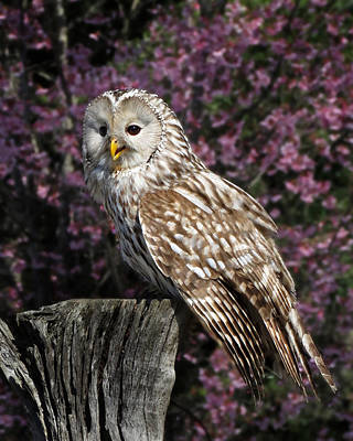 Photograph - Smiling Ural Owl by Deborah Smith