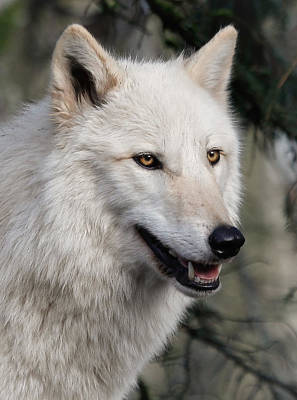 Photograph - Smiling White Arctic Wolf by Athena Mckinzie
