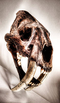 Photograph - Smilodon Fatalis Saber Tooth Skull Unframed by Weston Westmoreland