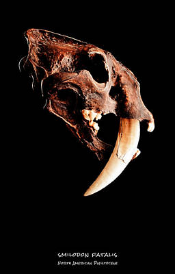 Tiger Fractal Photograph - Smilodon Fatalis Skull 1 by Weston Westmoreland
